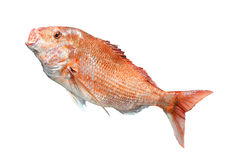 Big Red Snapper fish Stock Images