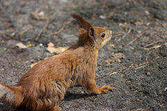 Big red squirrel on the ground. Back view. sunny day Stock Images