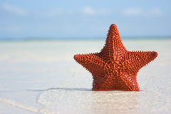 Big red starfish Royalty Free Stock Image