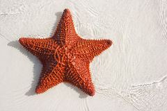Big red starfish Stock Images