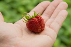 Wild strawberries in the dirty hands of children stock photo
