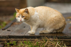 Big red the stray cat outdoors. Nature. Royalty Free Stock Image