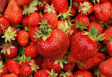Big red and tasty strawberries Royalty Free Stock Photo