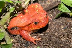 Big red Tomato frogs, Dyscophus antongilii. Big red Tomato frog, species of genus Dyscophus & x28;Dyscophus antongilii& x29;. It can be found in Maroantsetra Royalty Free Stock Image