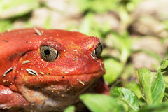 Big red Tomato frogs, Dyscophus antongilii. Big red Tomato frog, species of genus Dyscophus & x28;Dyscophus antongilii& x29;. It can be found in Maroantsetra Royalty Free Stock Images