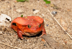 Big red Tomato frogs, Dyscophus antongilii. Big red Tomato frog, species of genus Dyscophus & x28;Dyscophus antongilii& x29;. It can be found in Maroantsetra Stock Photography