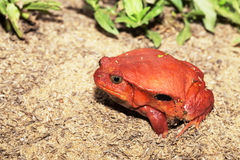 Big red Tomato frogs, Dyscophus antongilii. Big red Tomato frog, species of genus Dyscophus & x28;Dyscophus antongilii& x29;. It can be found in Maroantsetra Stock Photos