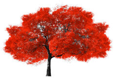 Free Big Red Tree On White Background Royalty Free Stock Image - 64900236