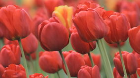 Big Red Tulips stock video