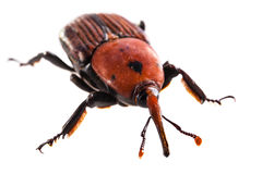 Big red weevil Stock Photos