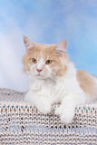 Big red and white Maine Coon Cat lying on a blanket Stock Image