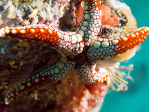 White and red starfish on coral reef underwater Royalty Free Stock Photos