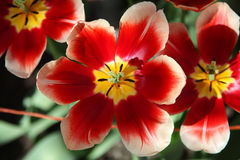 Big red-yellow open tulips growing on the flowerbed in the sun. Top view Royalty Free Stock Photos