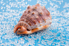 Big reddish shell on a fresh water like blue background Royalty Free Stock Photo