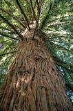 Big Redwood Tree Stock Image