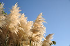 Big reed flowers with blue sky Stock Photo