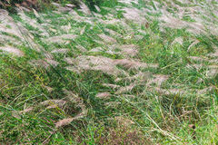 A big reeds of grass lanscape Stock Images