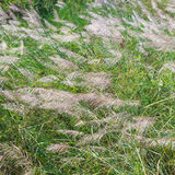 A big reeds of grass lanscape Stock Image