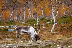 Big reindeer in the forest, Lapland Royalty Free Stock Image