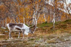 Big reindeer in the forest, Lapland Stock Photos