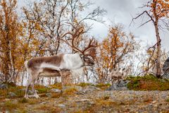 Big reindeer in the forest, Lapland Royalty Free Stock Images