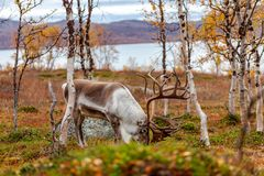Big reindeer in the forest, mountains in the background Stock Photography