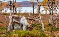 Big reindeer in the forest, mountains in the background Stock Photo