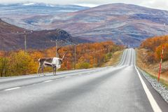 Big reindeer on the road, forest and mountains in the background, Lapland Stock Photos