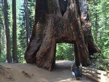 Big redwood Stock Images