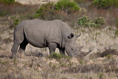 Big rhino Royalty Free Stock Photo