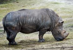 Big rhino Stock Images