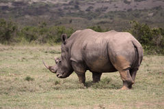 Big Rhino in Africa. A big rhino in Africa royalty free stock photos