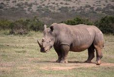 Big Rhino in Africa. A big rhino in Africa royalty free stock photography