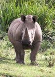 Big Rhino in Africa. A big rhino in Africa stock photography