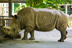 Big rhino. In the Kiev zoo Stock Image