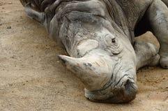 A big rhino lying on the floor. Stock Image