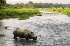 Big rhino in a river in Chitwan Park, Nepal.  Royalty Free Stock Photography