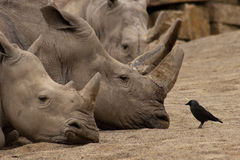 Big Rhino's And Small Bird. Small Bird is trying to fight big rhinos or explain them something :-DDD stock photography