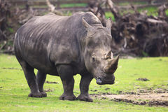 Big rhino Royalty Free Stock Image