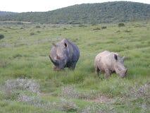 Big Rhinoceraus. And baby stock photo