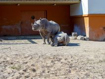 Black rhinoceros in zoo. Big rhinocero and baby lying on the ground under the mother in zoo, Tallinn, Estonia. Big horned rhino. Warm colors. Copy space for stock photo