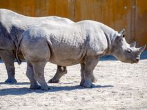 Black rhinoceros in zoo. Big rhinocero and baby in zoo, Tallinn, Estonia. Big horned rhino. Warm colors. Copy space for wallpaper, deskto. Mom and cub. The stock image