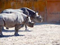 Black rhinoceros in zoo. Big rhinocero and baby in zoo, Tallinn, Estonia. Big horned rhino. Warm colors. Copy space for wallpaper, deskto. Mom and cub. The stock photography