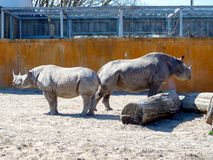 Black rhinoceros in zoo. Big rhinocero and baby in zoo, Tallinn, Estonia. Big horned rhino. Warm colors. Copy space for wallpaper, deskto. Mom and cub. The stock images