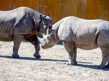 Black rhinoceros in zoo royalty free stock photo