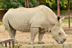 Big Rhinoceros Royalty Free Stock Photo