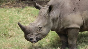 A big rhinoceros in an African safari. Royalty Free Stock Photography