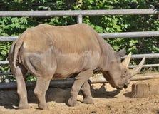 Big rhinoceros Stock Photo