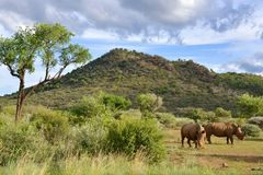 Big rhinos in  Pilansberg Game Reserve. Two adults rhinos in savanna Royalty Free Stock Photography