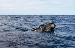 Big Right Whale looks out of the ocean. Wild Nature. Stock Image